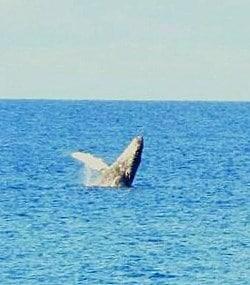realhumpbackwhale2