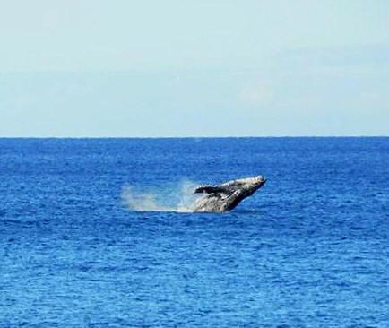 realhumpbackwhales1
